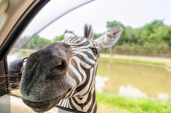 Zebra in the tourists car Stock Image
