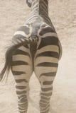 A zebra traseira/leu a vista imagem de stock