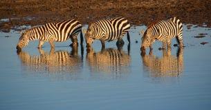 Zebra tre nel fiume in Africa Fotografia Stock