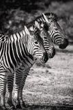 Zebra tre in una fila Safari Animals bianca e nera Fotografia Stock Libera da Diritti