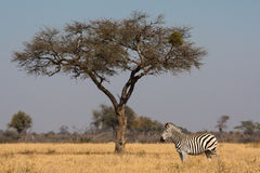 Zebra and tree Stock Photo