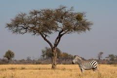 Zebra and tree. A zebra standing next to a tree Stock Photo