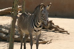 Zebra - Los Angeles Zoo. Zebra stands by tree at Los Angeles Zoo Stock Photos