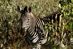 Zebra in trees. The Zebra was in the Sabi Sands Reserve. Hiding in a bush for the hot summer sun Stock Photos