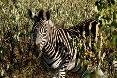 Zebra in trees Stock Photos