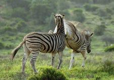 Zebra treten innen das Gesicht Stockbilder
