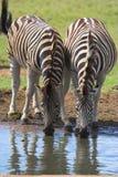 Zebra-trinkende Paare Lizenzfreie Stockbilder