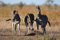 Zebra Trio Royalty Free Stock Image