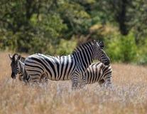 Zebra Trio Royalty Free Stock Images