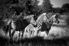 Zebra Trio. A group of three zebra basking in the evening light Royalty Free Stock Photography