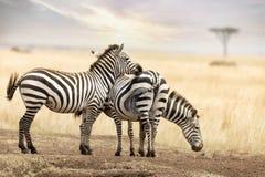 Zebra trio in the Masai Mara at dusk Stock Photos