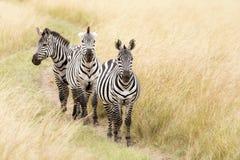 Zebra trio in the Masai Mara Stock Images