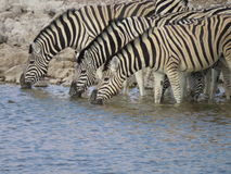 Zebra Trio Royalty Free Stock Photos