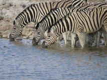 Zebra Trio Royalty Free Stock Photos