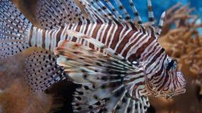 Zebra tropical dos peixes - lionfish Espinhas listradas venenoso Vidas nos oceanos e no coral do seof como foto de stock