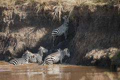 Zebra trying to cross the Mara River in Kenya Stock Photo