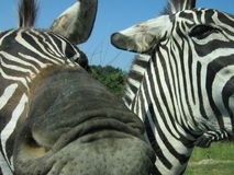 A zebra trying to eat my camera. A ferocious zebra trying to eat my innocent camera Stock Photos
