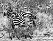 Zebra In Tsavo national park Kenya East Africa Black And White. A dazzle of Zebras standing in the African Bush. Kenya East africa stock photography