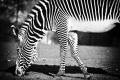 Zebra. Tunis Zoo. Beauty graceful zebra Royalty Free Stock Photos