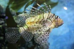Zebra turkeyfish Stock Photo