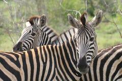 Zebra twee Stock Foto