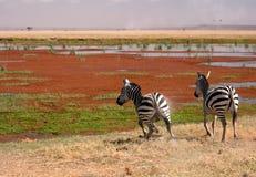 Zebra twee in Amboseli, Kenia, Stock Fotografie