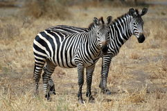 Zebra Twin. From Serengeti Tanzania Stock Image