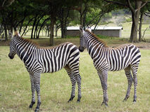 Zebra twins. Two zebras in identical poses Stock Images