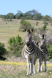 Zebra Two. Two Zebras standing in the african bush royalty free stock images