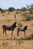 Zebra. Two zebra living in a natural reserve Royalty Free Stock Photography