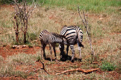 Zebra. Two zebra living in a natural reserve Royalty Free Stock Photos