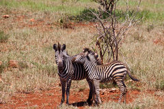 Zebra. Two zebra living in a natural reserve Stock Images