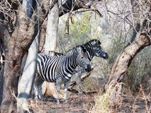 Zebra. These two  zebra were photographed in  the  Rietvlei dam  reserve near Pretoria Stock Image