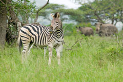 Zebra and two White Rhino in Umfolozi Game Reserve, South Africa, established in 1897 Royalty Free Stock Photography