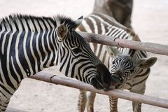 Zebra. Two zebras are kissing in the zoo ,Shenzhen,CHINA Stock Photo