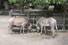 Zebra. Two zebras living together in the zoo Royalty Free Stock Photography