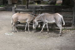 Zebra. Two zebras were having body contact with each other stock image