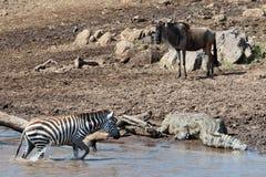 Zebra uit de rivier en bewegingen rechtstreeks aan c royalty-vrije stock foto's