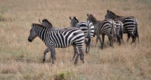 Zebra in una fila Fotografia Stock