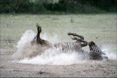 Zebra in una polvere. 2 Immagini Stock Libere da Diritti