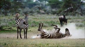 Zebra in una polvere. 3 Fotografie Stock