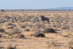 Zebra und Baby mit einem Gnu stockbilder