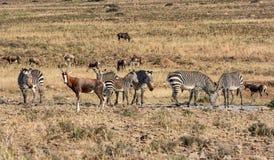 Zebra und Blesbok Stockbilder