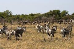 Zebra und Gnu auf Migration Stockfotos