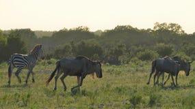 Zebra-und Gnu-Betrieb stockfotos
