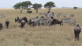 Zebra und Gnu in Serengeti stock footage