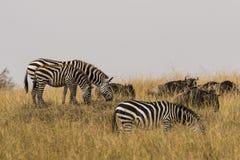Zebra und Gnu weiden lassen Stockfotos