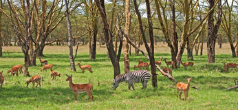 Zebra und Grants Gazelle Stockfotos