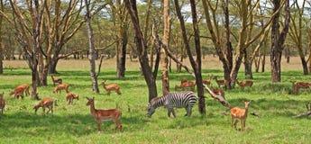 Zebra und Grants Gazelle Stockfotos