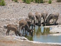 Zebra und kudu, die nebeneinander trinken stockbild